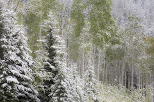 Fresh late summer snow on Evergreen trees, Banff National Park, Alberta, Canada by Sylvia Gulin
