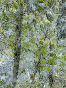 Fresh snow on alder trees by Sylvia Gulin