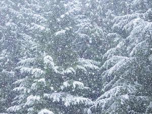 Fresh snow on evergreen trees by Sylvia Gulin