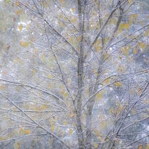 Fresh snow on Japanese maple tree with last of fall colored leaves by Sylvia Gulin