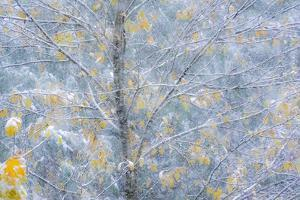 Fresh snowfall on Japanese maple tree with last of fall colored leaves by Sylvia Gulin