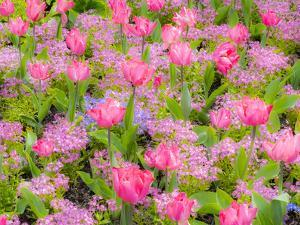 Pink tulips intermixed with forget-me-nots by Sylvia Gulin
