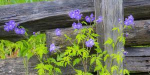 Purple Phacelia along wooden fence by Sylvia Gulin
