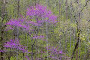 Rosebud tree in bloom in hardwood forest by Sylvia Gulin