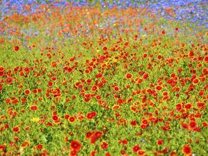 Soft focus on blanket flower, Indian paintbrush and blue Bonnets by Sylvia Gulin