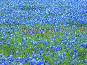 Springtime bloom of bluebonnets and paintbrush near Lake Buchanan Dam, Texas Hill Country by Sylvia Gulin