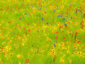 Springtime near Independence and Highway 390 on field of wildflowers by Sylvia Gulin