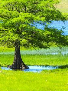 Springtime near Independence and Highway 390, small pond and cypress tree by Sylvia Gulin