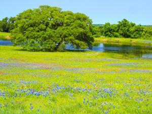 Springtime wildflower field near Independence and Highway 390 with oak tree and pond by Sylvia Gulin