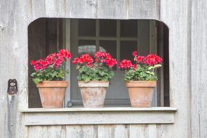Three pots of pink geraniums on railing by Sylvia Gulin