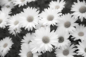 White shasta daisy in black and white by Sylvia Gulin