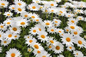 White shasta daisy by Sylvia Gulin