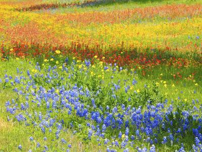 Wildflowers along Highway 29 between Llano and Buchanan Dam, Texas Hill Country