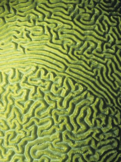 Symmetrical Brain Coral, Diploria Strigosa, with Zooanthellae or Symbiotic Algae, Belize, Caribbean-James Beveridge-Photographic Print