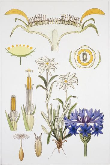 Symphyandra, Campanulaceae and Asteraceae--Giclee Print