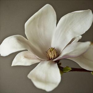 Magnolia by Symposium Design