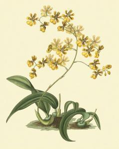Antique Orchid Study I by Syndenham Edwards