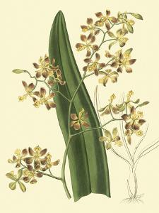 Antique Orchid Study II by Syndenham Edwards