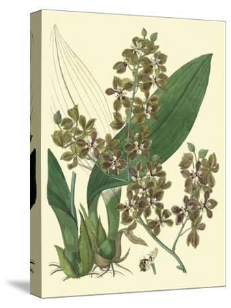 Antique Orchid Study III