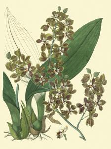 Antique Orchid Study III by Syndenham Edwards