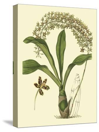 Antique Orchid Study IV