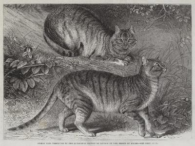 Syrian Cats Presented to the Zoological Society of London by the Prince of Wales--Giclee Print