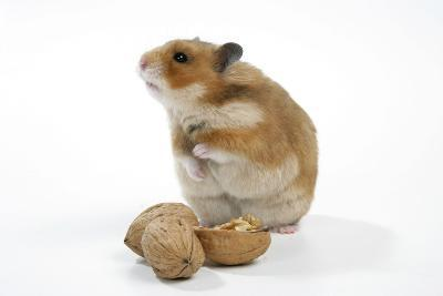 Syrian Hamster with Walnuts--Photographic Print