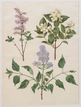 https://imgc.artprintimages.com/img/print/syringa-persica-philadelphus-coronarius-and-syringa-vulgaris-from-album-gottorfer-codex-c-1650_u-l-q19pvvu0.jpg?p=0