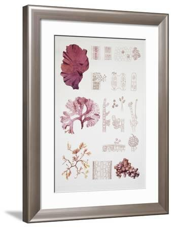 System and Reproduction of Rodofite, Red Algae--Framed Giclee Print