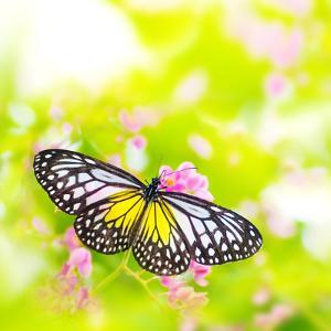 Butterfly. Parantica Aspasia (Yellow Glassy Tiger) Feeding On Flower by szefei