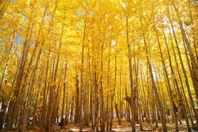 Wide Angle Fall Aspen Trees by szefei