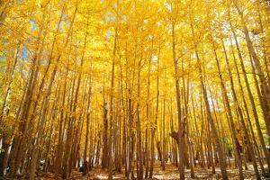 Wide Angle Fall Aspen Trees by szefei