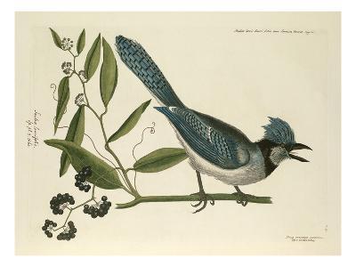 T. 15-Mark Catesby-Giclee Print
