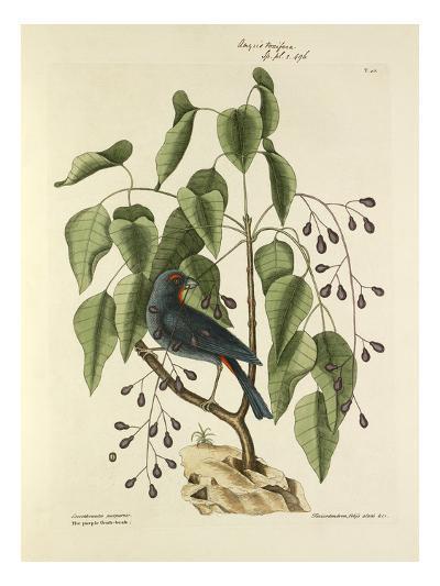T. 40-Mark Catesby-Giclee Print