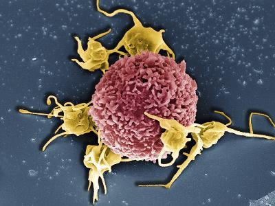 T Cell with Associated Platelets, SEM-Stanley Flegler-Photographic Print