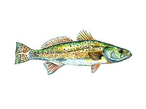 Spotted Trout by T.J. Heiser