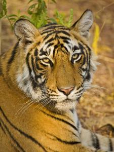 Bengal Tiger Resting Portrait, Ranthambhore Np, Rajasthan, India by T.j. Rich