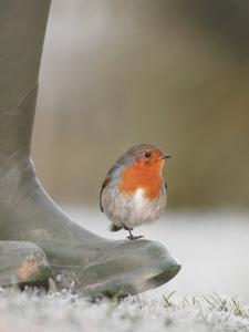Robin Perched on Boot, UK by T.j. Rich