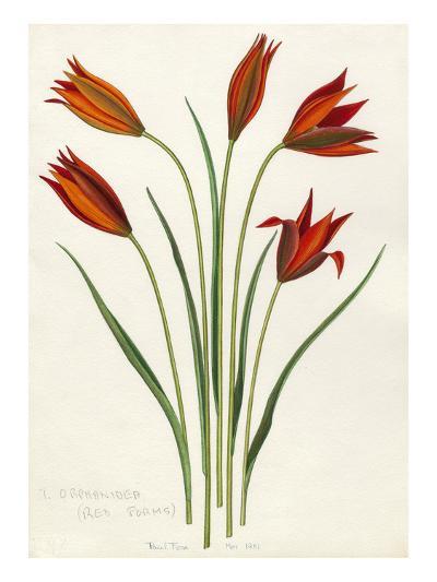 T. orphanidea (red forms)-John Paul Wellington Furse-Giclee Print