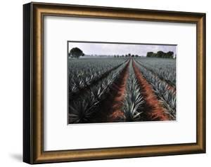 Agave Field for Tequila Production, Jalisco, Mexico by T photography