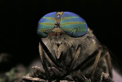 Tabanus Bromius (Small Horse Fly, Band-Eyed Brown Horsefly) - Portrait-Paul Starosta-Photographic Print