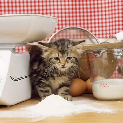 Tabby Cat Kitten with Flour on Nose and Whiskers--Photographic Print