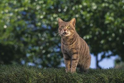 Tabby Cat on Grass-DLILLC-Photographic Print