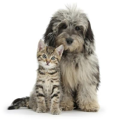 Tabby Kitten 8 Weeks, with Fluffy Black and Grey Daxie Doodle (Daschund Poodle Cross) Puppy-Mark Taylor-Photographic Print