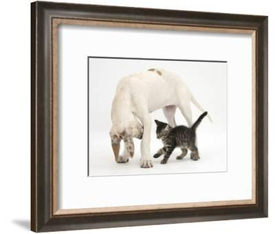 Tabby Kitten, Fosset, 10 Weeks, with Great Dane Puppy, Tia, 14 Weeks-Mark Taylor-Framed Photographic Print