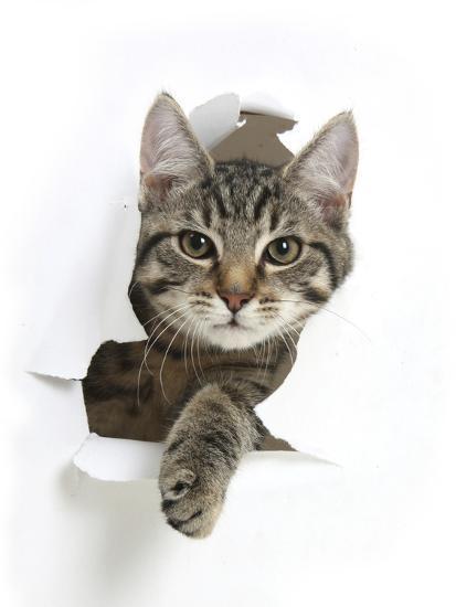 Tabby Kitten, Fosset, 4 Months , Breaking Through Paper-Mark Taylor-Photographic Print