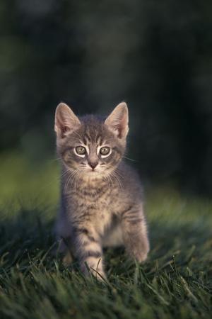 Tabby Kitten in Grass-DLILLC-Photographic Print