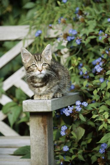 Tabby Kitten--Photographic Print