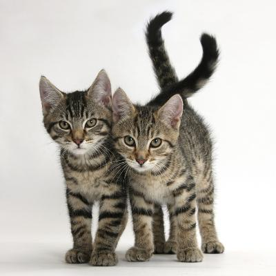 Tabby Kittens, Stanley and Fosset, 12 Weeks Old, Walking Together-Mark Taylor-Photographic Print