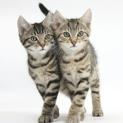 Tabby Kittens, Stanley and Fosset, 12 Weeks, Walking Together in Unison-Mark Taylor-Photographic Print